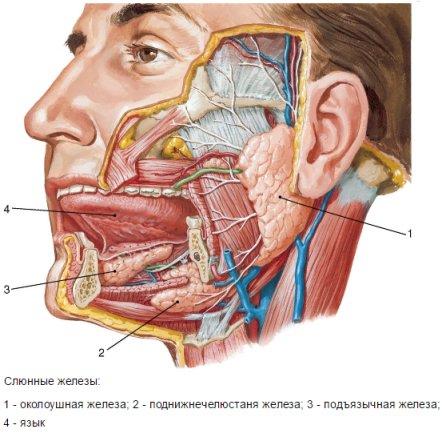 Воспаление околоушной слюнной железы, лечение сиалоаденита